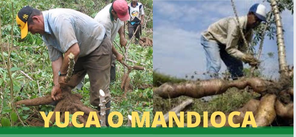 Yuca o Mandioca: versatil en el cultivo, muy nutritiva en la alimentacion